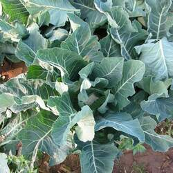 Brassica oleracea   Vates Vates Collards seed for sale