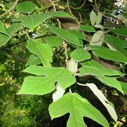 Broussonetia papyrifera Paper Mulberry, Halibun, Kalivon, Kozo, Tapacloth Tree seed for sale
