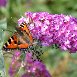 Buddleja davidii Orange Eye Butterflybush, Summer Lilac, Butterfly Bush seed for sale