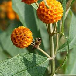 Buddleja globosa Orange-ball-tree seed for sale
