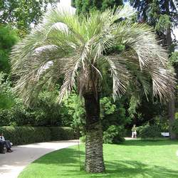 Butia capitata Coco Palm, Jelly Palm, South American Jelly Palm, Pindo Palm seed for sale