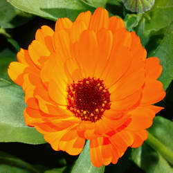 Calendula officinalis   Orange King Orange King Pot Marigold seed for sale