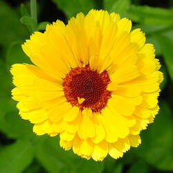 Calendula officinalis   Pacific Beauty Pacific Beauty Mix Pot Marigold seed for sale