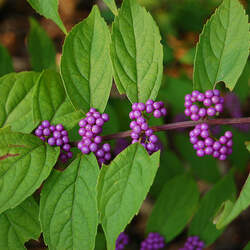Callicarpa dichotoma Beautyberry, Purple Beautyberry seed for sale