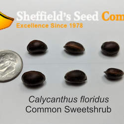 Calycanthus floridus Common Sweetshrub, Eastern Sweetshrub, Carolina Allspice seed for sale