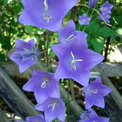 Campanula persicifolia Peach-leaved Bellflower, Peachleaf Bellflower seed for sale