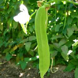 Canavalia gladiata Sword Jackbean seed for sale