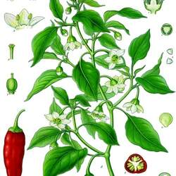 Capsicum annuum   Jalapeno M Jalapeno M Pepper seed for sale