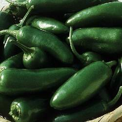 Capsicum annuum   Early Jalapeno Early Jalapeno Pepper seed for sale