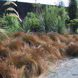 Carex testacea Orange Sedge, Speckled Sedge, Red Switch Grass seed for sale