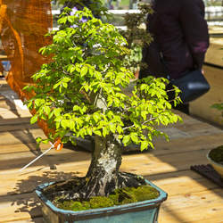 Carpinus henryana Henry's Hornbeam seed for sale