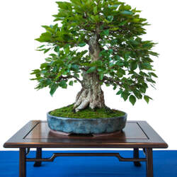 Carpinus turczaninowii Korean Hornbeam seed for sale