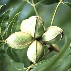 Carya illinoinensis  wild collection Pecan, Wild Pecan seed for sale