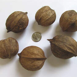 Carya laciniosa Shellbark Hickory, Shagbark Hickory, Bigleaf Shagbark Hickory, Kingnut, Big Shellbark, Bottom Shellbark, Thick Shellbark, Western Shellbark seed for sale
