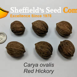 Carya ovalis Red Hickory, Sweet Pignut Hickory, Pignut Hickory, Spicebark Hickory seed for sale