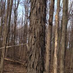 Carya ovata    Northern Shagbark Hickory seed for sale