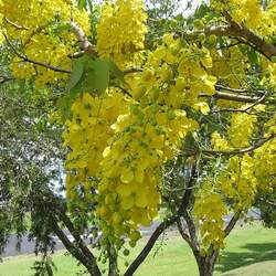 Cassia fistula Golden Shower seed for sale
