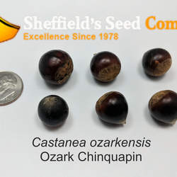 Castanea ozarkensis  seed for sale