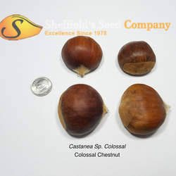 Castanea sp   Colossal Colossal Chestnut seed for sale
