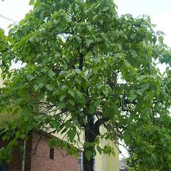 Catalpa bignonioides Southern Catalpa seed for sale