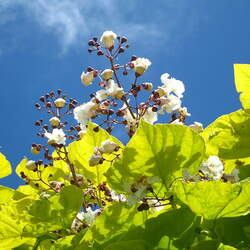 Catalpa speciosa Northern Catalpa, Western Catalpa, Northern Cigar Tree, Catawba Tree, Hardy Catalpa seed for sale
