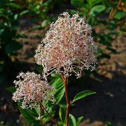 Ceanothus americanus New Jersey Tea seed for sale