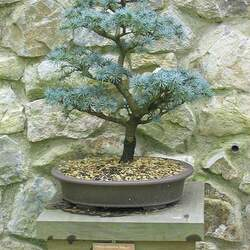 Cedrus atlantica Atlas Cedar seed for sale