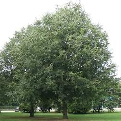 Celtis australis European Hackberry seed for sale