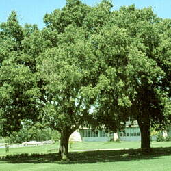 Celtis occidentalis    North America Common Hackberry seed for sale