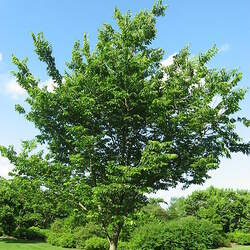 Celtis occidentalis    Europe Common Hackberry seed for sale