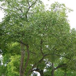 Celtis sinensis Japanese Hackberry, Chinese Hackberry seed for sale