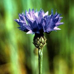 Centaurea cyanus   Tall Choice Bachelors Buttons, Cornflower, Garden Cornflower seed for sale