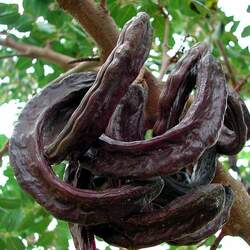 Ceratonia siliqua Carob Tree, St. John's Bread, Saint John's Bread seed for sale
