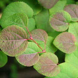 Cercidiphyllum japonicum Katsura Tree, Japanese Judas Tree seed for sale