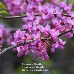 Cercis canadensis    Northern Zone 6 Eastern Redbud, Northern Zone 6 Redbud, Northern Zone 6 Eastern Redbud seed for sale