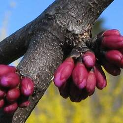 Cercis canadensis  Mexicana Mexican Redbud seed for sale