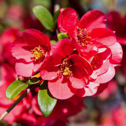 Chaenomeles sinensis Chinese Quince, Mugua, Mogwa, Karin seed for sale