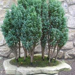 Chamaecyparis lawsoniana Port Orford Cedar, Lawson's Cypress seed for sale