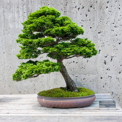 Chamaecyparis obtusa Hinoki Cypress, Hinoki False Cypress, Japanese White Cedar seed for sale