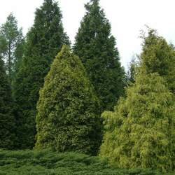 Chamaecyparis pisifera Sawara False Cypress, Japanese False Cypress seed for sale