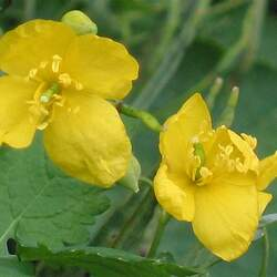 Chelidonium majus Greater Celandine, Swallow Wort, Celandine seed for sale