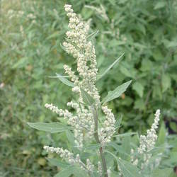 Chenopodium album Lambsquarters seed for sale