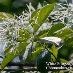 Chionanthus virginicus White Fringetree, Old Man's Beard, Grancy Grey Beard seed for sale