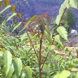 Choerospondias axillaris Lapsi, Candy Tree, Nepali Hog Plum seed for sale