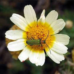 Chrysanthemum coronarium  seed for sale