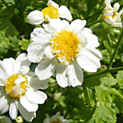 Chrysanthemum parthenium Feverfew seed for sale