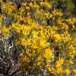 Chrysothamnus nauseosus Rubber Rabbitbrush seed for sale