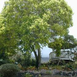 Cinnamomum camphora Camphor Tree seed for sale