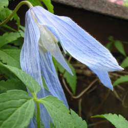 Clematis alpina Alpine Clematis, Alpine Vigin's Bower seed for sale