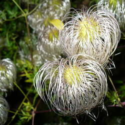 Clematis tangutica     winged Golden Clematis seed for sale